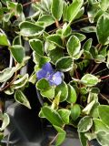 Vinca minor Moonlit 1L Pot
